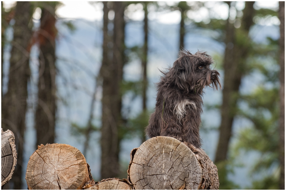 Kamloops portrait photographer family dog on the woodpile